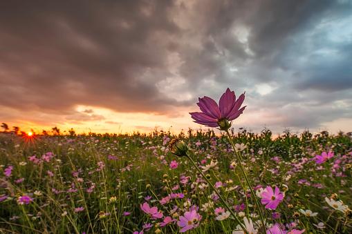 コスモス「Pink and White Cosmos (Bidens formosa) Wildflowers Landscape at Sunset, Magaliesburg, Gauteng Province, South Africa」:スマホ壁紙(6)