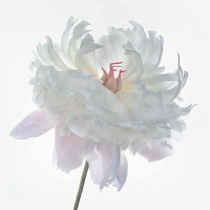 薄ピンク「Pink and White Peony (Paeonia)」:スマホ壁紙(6)