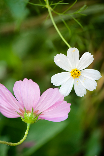 ガーデンコスモス「Pink And White Cosmos Flowers Reaching Towards One Another. Mexican aster」:スマホ壁紙(13)