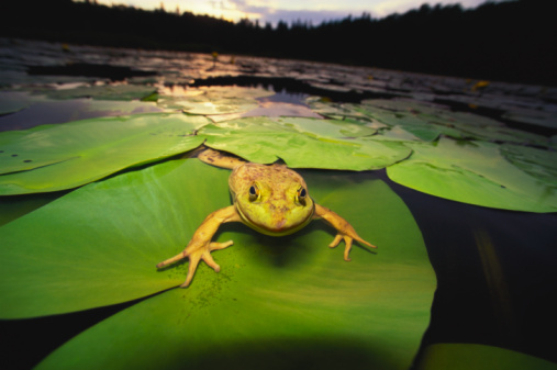 Water Lily「Green Bull frog sitting on lily pads at sunset」:スマホ壁紙(8)