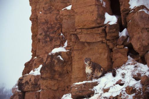 Animals Hunting「Snow leopard on a cliff」:スマホ壁紙(3)
