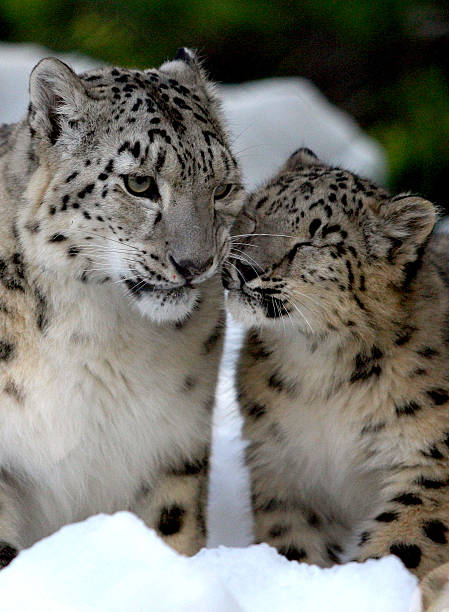 Melbourne Zoo's Snow Leopards & Bears Enjoy Snowy Winter Wonderland:ニュース(壁紙.com)