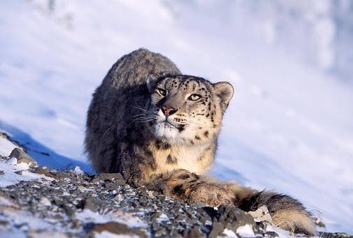 Choosing「Snow Leopard in Snow」:スマホ壁紙(4)