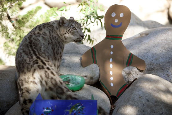 Animal Themes「Leopard Cubs At The Los Angeles Zoo Given Christmas Gifts」:写真・画像(7)[壁紙.com]