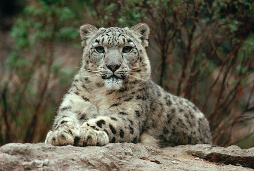 1980-1989「Snow Leopard Laying on Rock」:スマホ壁紙(13)