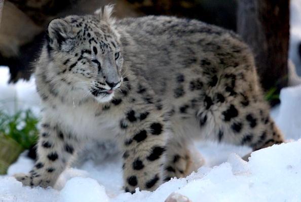 Ice Sculpture「Melbourne Zoo's Snow Leopards & Bears Enjoy Snowy Winter Wonderland」:写真・画像(13)[壁紙.com]