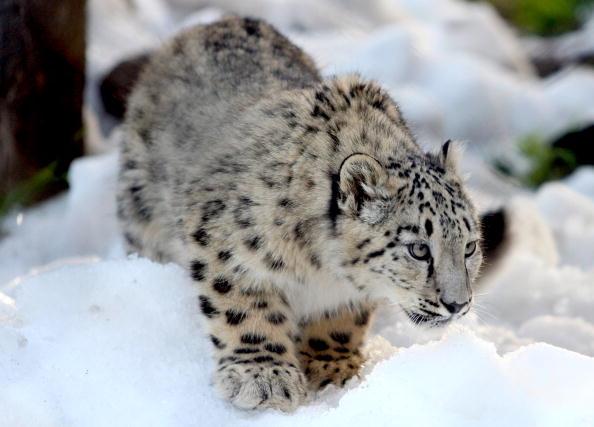 Ice Sculpture「Melbourne Zoo's Snow Leopards & Bears Enjoy Snowy Winter Wonderland」:写真・画像(15)[壁紙.com]