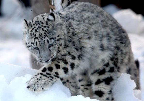 Ice Sculpture「Melbourne Zoo's Snow Leopards & Bears Enjoy Snowy Winter Wonderland」:写真・画像(10)[壁紙.com]