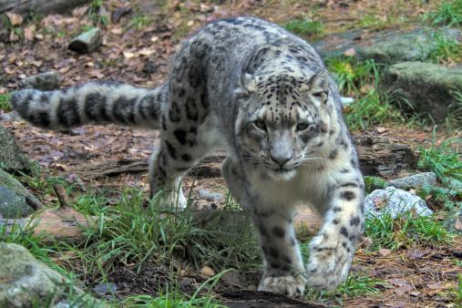 Walking「Snow leopard」:スマホ壁紙(2)