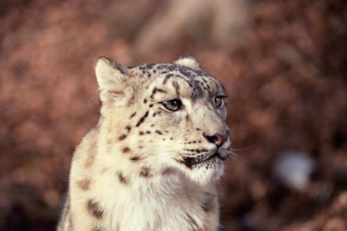Himalayas「Snow leopard」:スマホ壁紙(18)