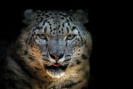 Animal Eye「Snow leopard」:スマホ壁紙(16)