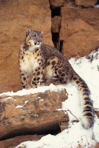 Himalayas「Snow leopard on cliffs」:スマホ壁紙(14)