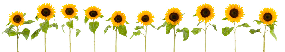 Continuity「XXXLarge row of sunflowers」:スマホ壁紙(0)