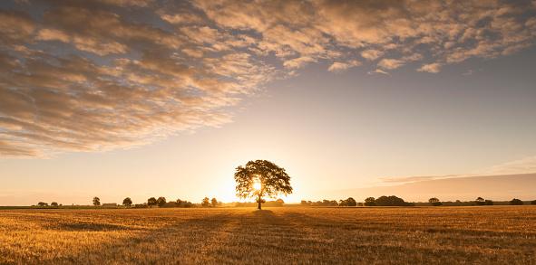 Single Tree「Tree and barley field at sunrise.」:スマホ壁紙(17)