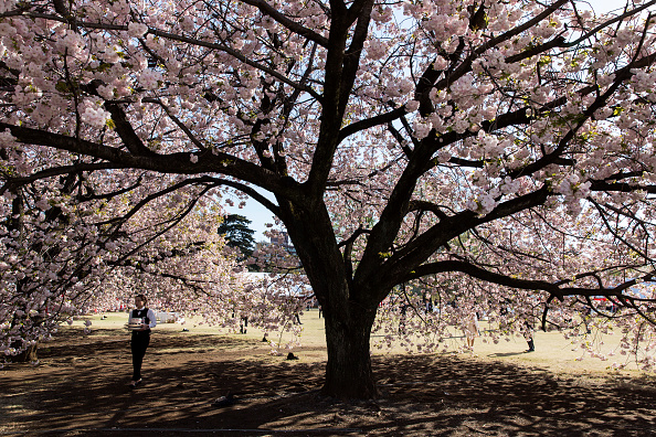 Tokyo - Japan「Japanese PM Abe Hosts Cherry Blossom Viewing Party」:写真・画像(13)[壁紙.com]