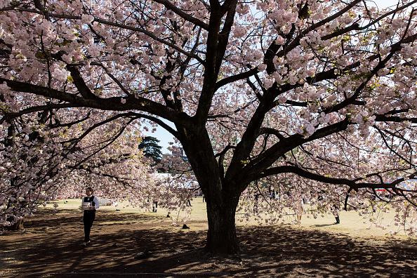Blossom「Japanese PM Abe Hosts Cherry Blossom Viewing Party」:写真・画像(11)[壁紙.com]