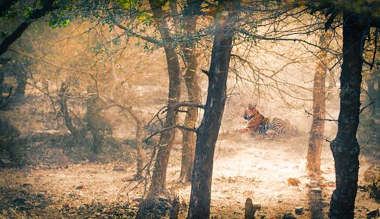 Ranthambore National Park「Tiger.  India」:スマホ壁紙(3)