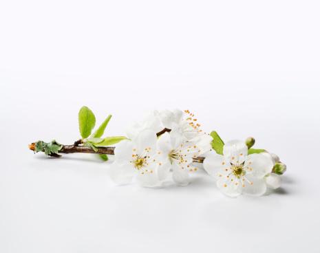 梅の花「新鮮な桜の花の芽先-XXXL」:スマホ壁紙(14)