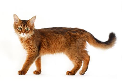 Cat「Somali cat」:スマホ壁紙(1)