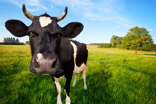 Females「Cow on pasture」:スマホ壁紙(17)