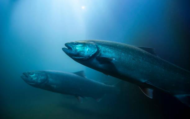 Migration Salmon:スマホ壁紙(壁紙.com)