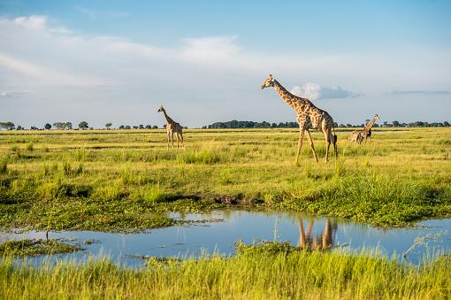 Giraffe「Giraffe's in a National Park」:スマホ壁紙(13)