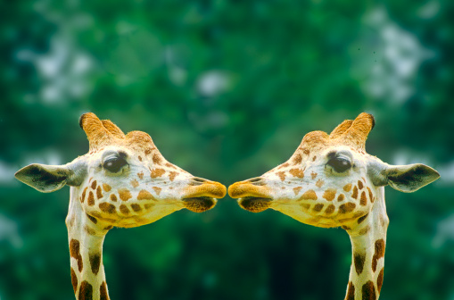 キリン「Giraffes in love」:スマホ壁紙(4)