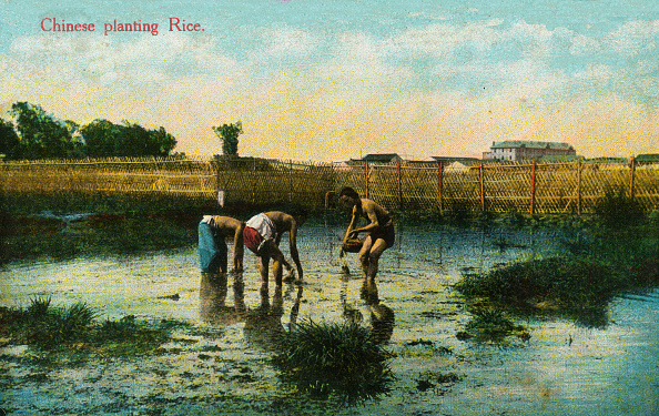 Planting「Chinese agricultural workers planting rice」:写真・画像(11)[壁紙.com]