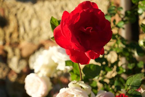 赤「Rosa rossa」:スマホ壁紙(9)