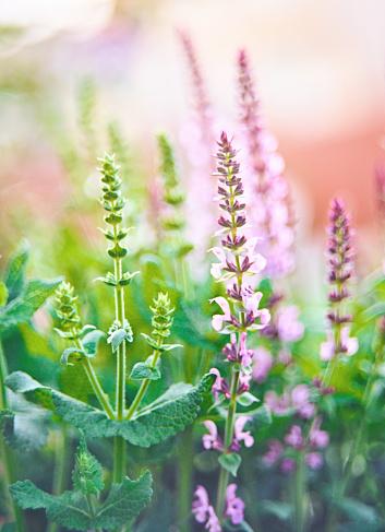 Blossom「Salvia plants backlit in warm sunlight」:スマホ壁紙(5)