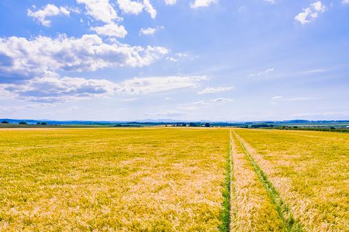 East Lothian「Vast yellow barley(Hordeumvulgare)field in summer」:スマホ壁紙(10)