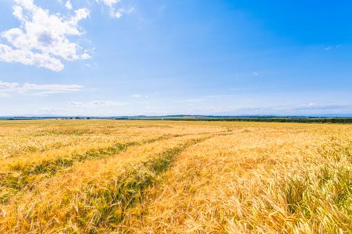 East Lothian「Vast yellow barley (Hordeum vulgare) field in summer」:スマホ壁紙(11)