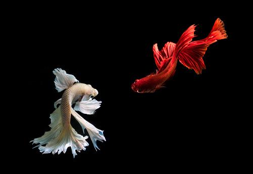 Animal Themes「Two Betta fish swimming, Batam, Kepulauan Riau, Indonesia」:スマホ壁紙(7)
