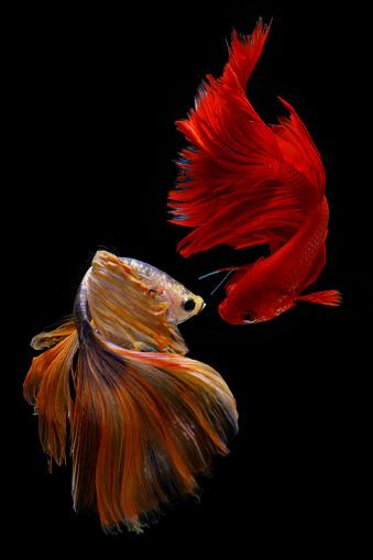 熱帯魚「Two betta fish, Indonesia」:スマホ壁紙(17)