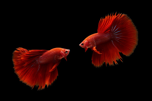 熱帯魚「Two betta fish, Indonesia」:スマホ壁紙(18)