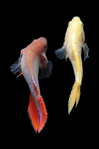 Siamese Fighting Fish「Two betta fish」:スマホ壁紙(16)