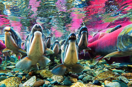 Shallow「Sockeye salmon (Oncorhynchus nerka) underwater」:スマホ壁紙(0)
