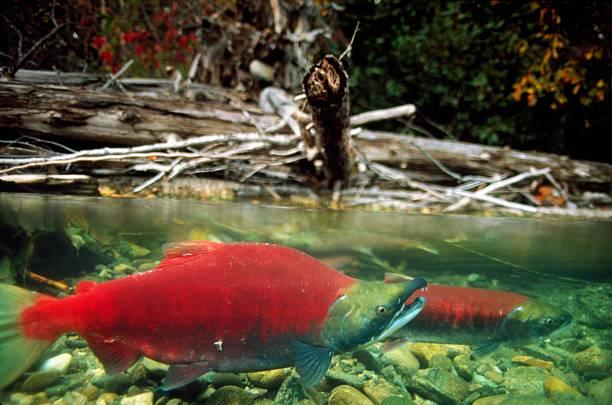 Sockeye salmon in shallow river. Canada:スマホ壁紙(壁紙.com)
