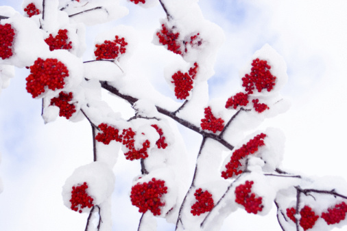 Rowanberry「Winter Ashberry Closeup Covered by Snow」:スマホ壁紙(9)