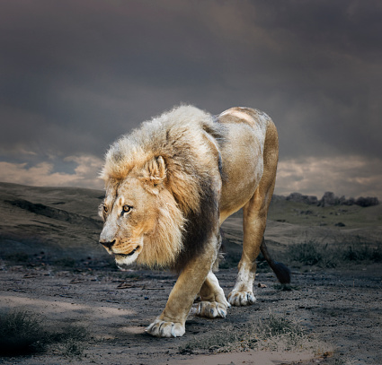 Animals Hunting「Male Lion in Naturalistic Setting」:スマホ壁紙(0)