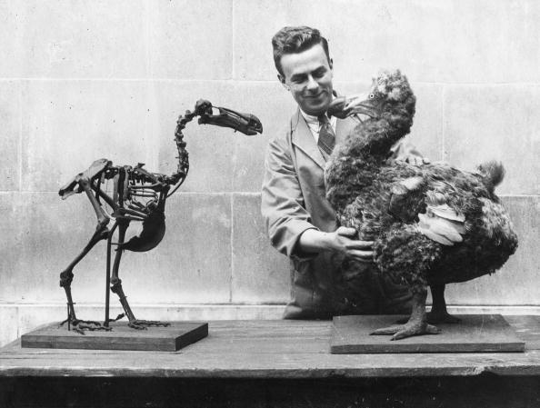 鳥「Dodo Skeleton」:写真・画像(6)[壁紙.com]