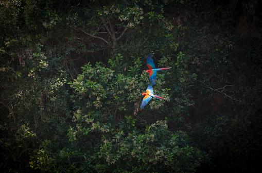 Bird「Green-winged macaw  (Ara chloropterus)」:スマホ壁紙(7)