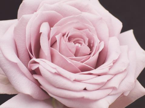 一輪の花「Pale pink rose (Rosaceae sp.) close-up」:スマホ壁紙(16)