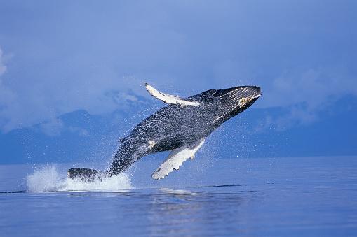 Humpback Whale「Young Humpback Whale Breaching in Frederick Sound」:スマホ壁紙(10)