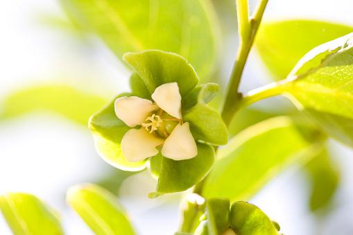 柿「Persimmon flower」:スマホ壁紙(8)