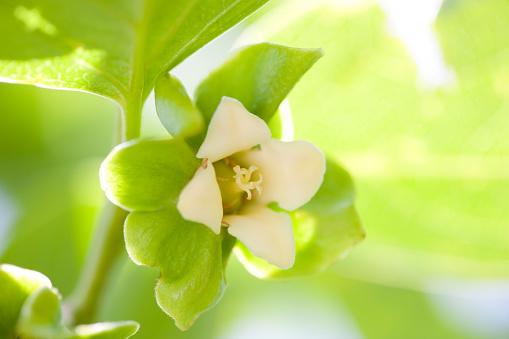 柿「Persimmon flower」:スマホ壁紙(14)