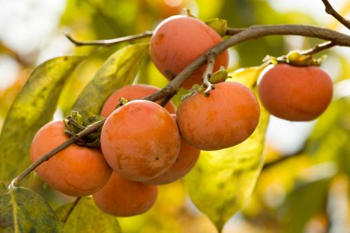 柿「Persimmon Fruits」:スマホ壁紙(16)
