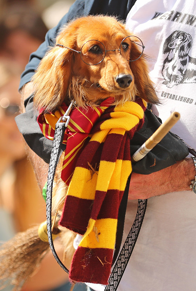 Annual Event「Annual Dachshund Race Celebrates Start Of Oktoberfest In Australia」:写真・画像(8)[壁紙.com]