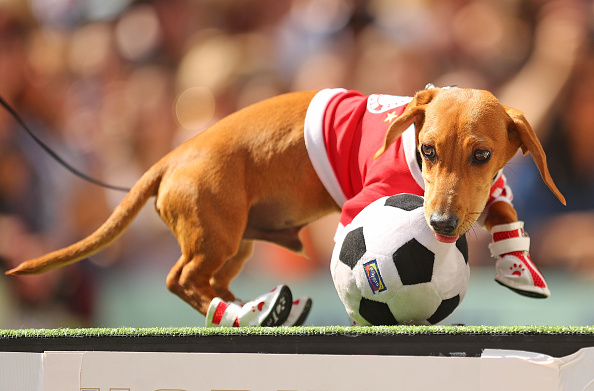 Annual Event「Annual Dachshund Race Celebrates Start Of Oktoberfest In Australia」:写真・画像(3)[壁紙.com]
