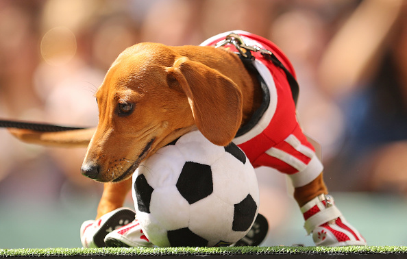 Human Interest「Annual Dachshund Race Celebrates Start Of Oktoberfest In Australia」:写真・画像(13)[壁紙.com]
